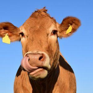Calf & Cow