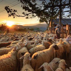 Lamb & Sheep